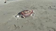 Mummy of turtle on sand Stock Footage
