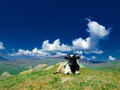 alpin cow - stock photo