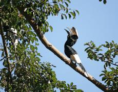 Stock Photo of silvery-cheeked hornbill in uganda