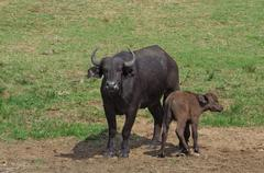 african buffalos in sunny ambiance - stock photo