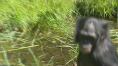 Bonobo - pan paniscus foraging in swamp - medium shot Stock Footage