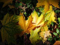 Stock Photo of maple leavs