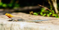 red headed agama lizard at abela rock - stock photo