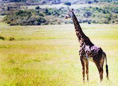 giraffe in kenya's masai mara national park - stock photo