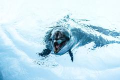 dolphins swim in the pool - stock photo