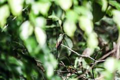 male green-crowned woodnymph hummingbird in ecuador - stock photo