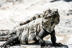 Green iguana seen in the mexican yucatan. Stock Photos