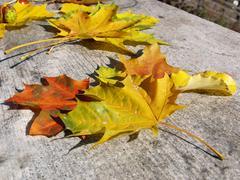 maple leavs - stock photo