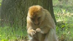 Picky Barbary Macaque (macaca sylvanus) eats fruit. Stock Footage