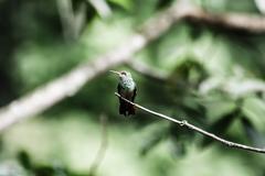 Male green-crowned woodnymph hummingbird in ecuador Stock Photos