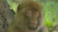 Barbary Macaque (macaca sylvanus) chewing on piece of fruit Stock Footage
