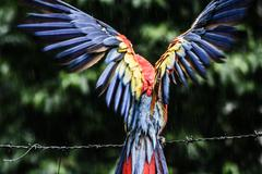 a blue - red and yellow macaw closeup - stock photo