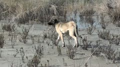 Stray Kangal dog Stock Footage