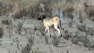 Stray Kangal dog Stock Footage