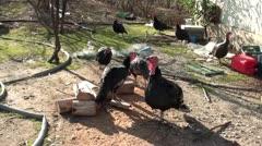 Turkeys in barnyard Stock Footage