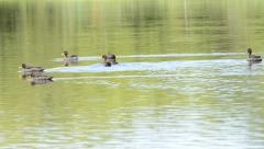Nature.birds swimming in a  pond Stock Footage