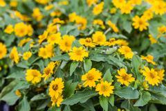 Yellow cosmos flower Stock Photos