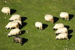 A group of sheep - stock photo