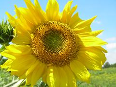 Sun flower on blue sky Stock Photos