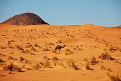 Kameli aavikolla Kuvituskuvat