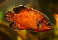 oscar fish (astronotus ocellatus) swimming underwater - stock photo