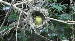 Bower Building Bird Stock Footage