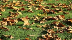 Fall maple leaves blowing in the wind Stock Footage