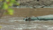 Stock Video Footage of Hippopotamus in the wild