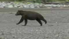 BROWN BEAR LOPE Stock Footage