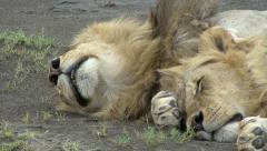 LION SLEEPS - stock footage