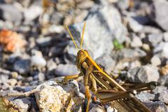 differential grasshopper - stock photo