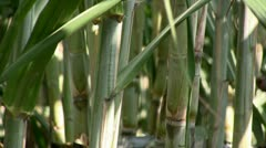 Sugar cane (zoom out) Stock Footage