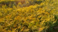 Stock Video Footage of AERIAL: Flight over wheat field in the sunset