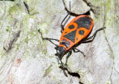 the firebug / Pyrrhocoris apterus - stock photo