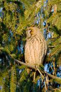 long-eared owl (Asio otus) in the tree - stock photo