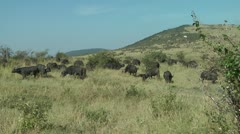 African buffalo Stock Footage