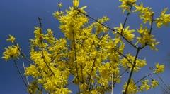 Yellow flower Forsythia Stock Footage