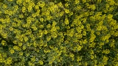 AERIAL: Brassica rapa field - stock footage
