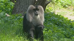 Lion-tailed macaque - wanderoo (macaca silenus) sits. Stock Footage