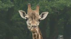 Giraffe, giraffa camelopardalis, medium shot Stock Footage
