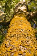 Lichen (xanthoria parietina) Stock Photos
