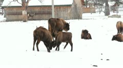 Two bisons fighting Stock Footage