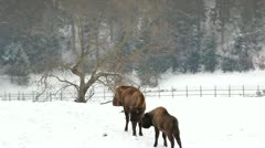 Two bisons together Stock Footage