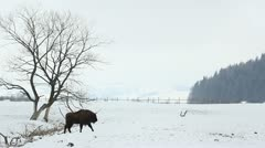 Lonely bison walking Stock Footage