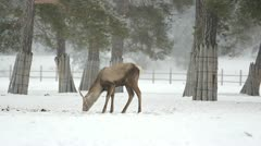Stag trying to find the food under the snow Stock Footage