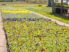 pansy bedding plants - stock photo