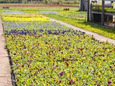 Stock Photo of pansy bedding plants