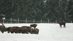 Herd of bisons in the glade Stock Footage