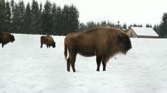 Wild european bison Stock Footage
