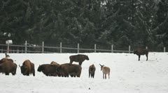 Bisons herd near the forest Stock Footage
